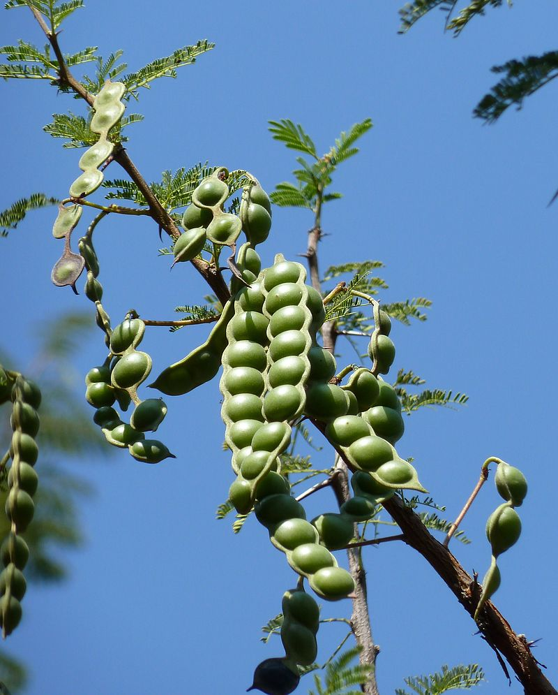 Acacia pods, very nutritious, make excellent fodder for all kinds of animals