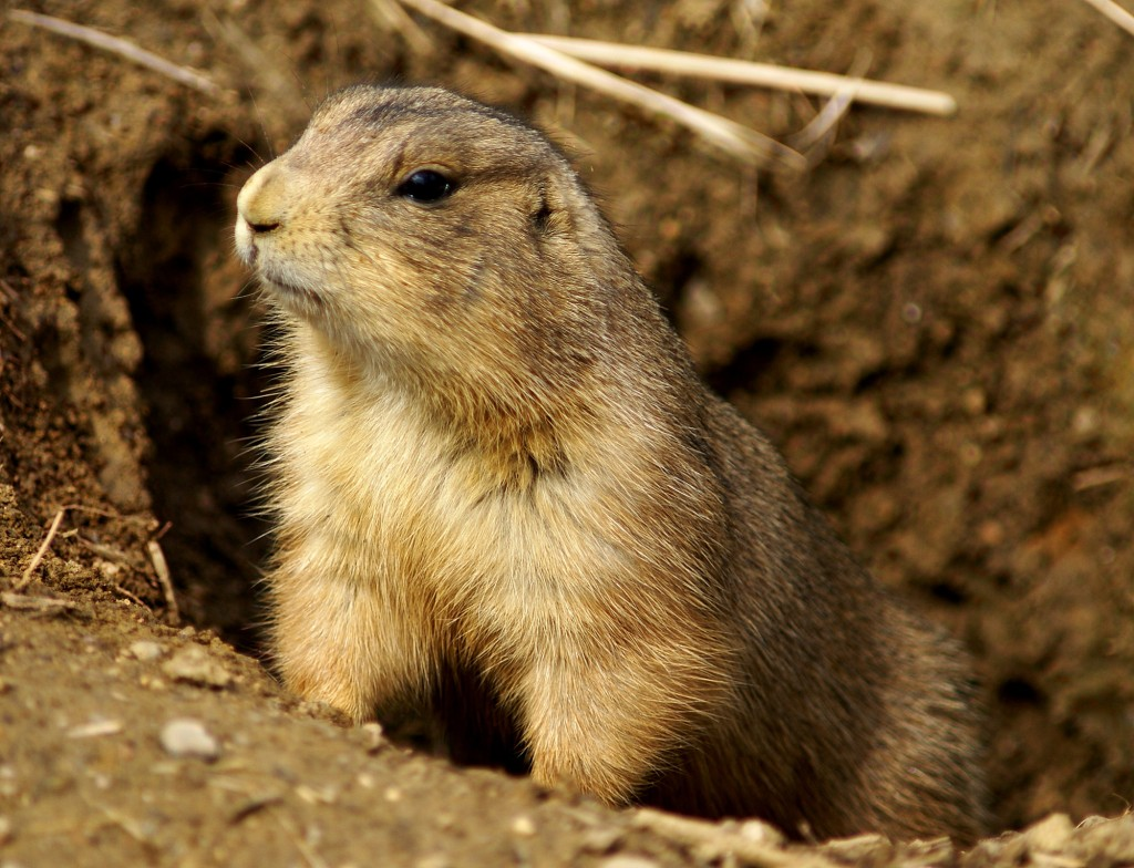 Prairie Dog Animal Medicine about Community