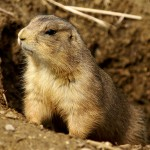 Animal Medicine – Prairie Dog and Community {Kathryn Ravenwood}