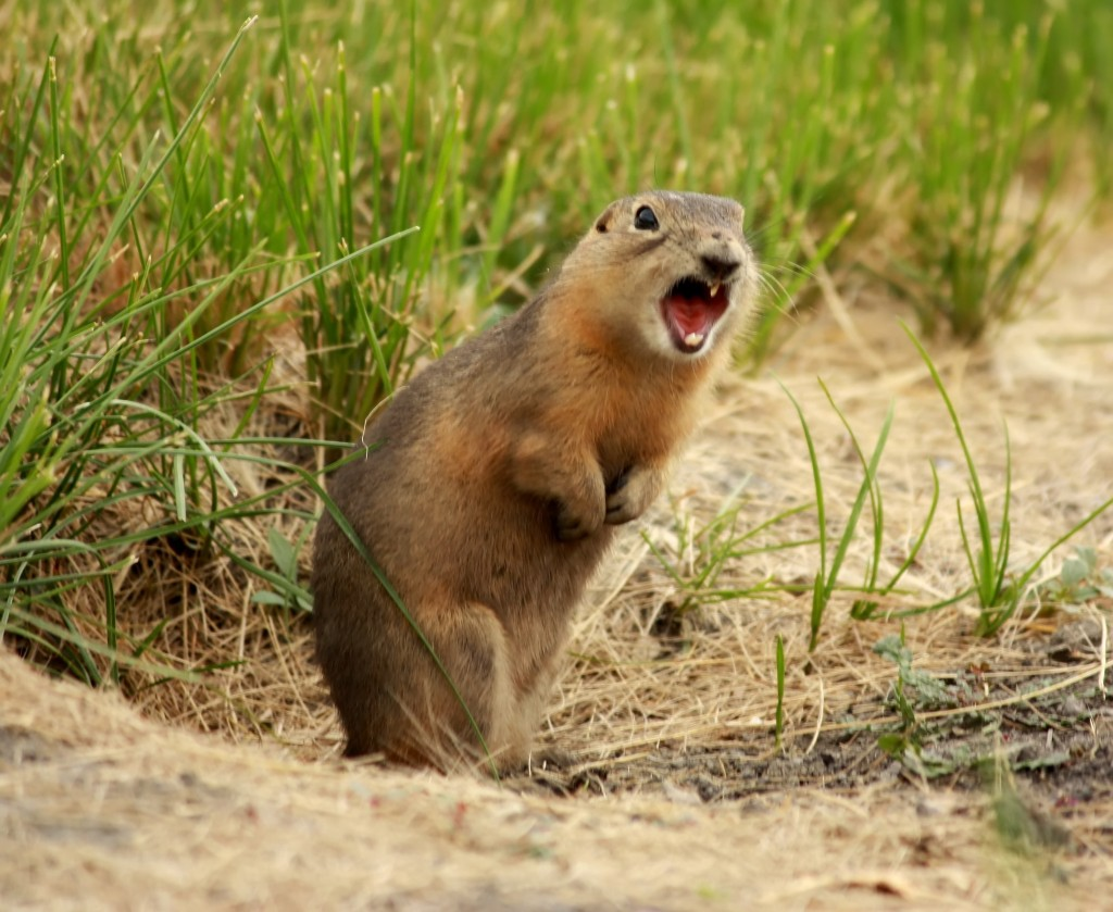 Prairie Dog Flickr Reuse