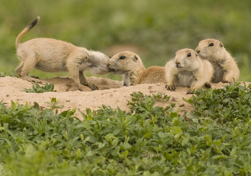 Prairie_Dog_Pups