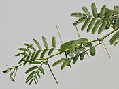 Acacia nilotica, showing leaves and thorns