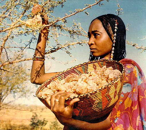Woman gathering gum acacia in Sudan