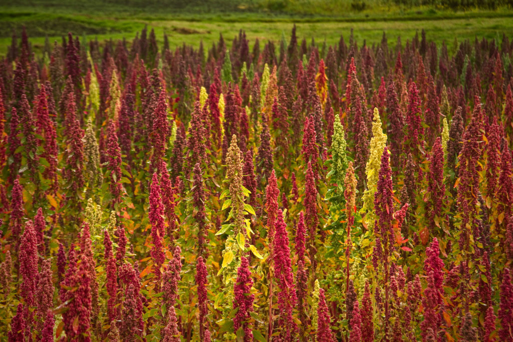 Quinoa - the Mother of All Grains and How to Cook It by The Hungry Goddess for Motherhouse of the Goddess