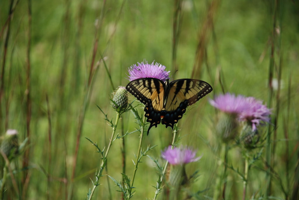 butterfly-on-weeds-and-wildflowers